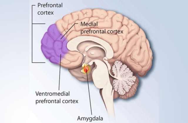 prefrontal-cortex